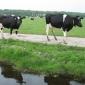 koeien-8